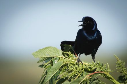 Bow Tail Grackle