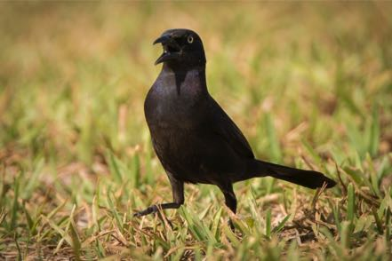 Bow-Tail Grackle