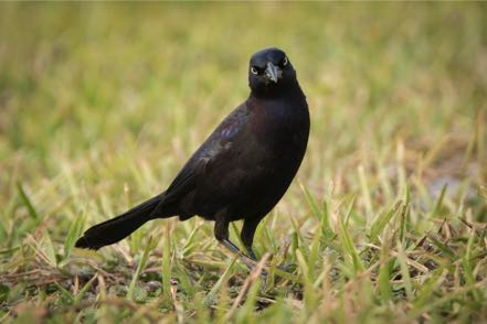 Bow-Tail Grackle II