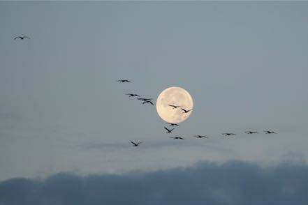 Sandhill Cranes with Moon